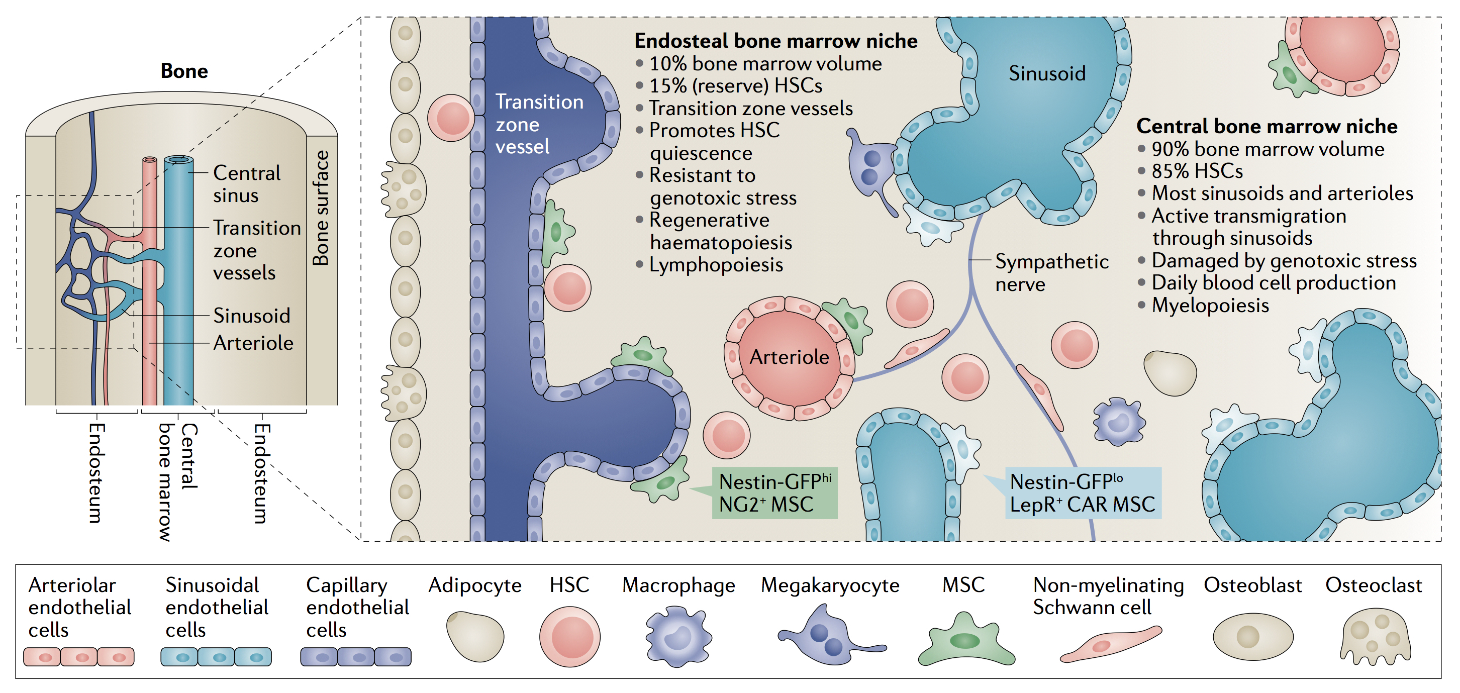 Diagram showing main features of anatomically-defined haematopoietic stem cell niches in the mouse bone marrow.