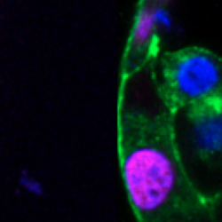 Fluorescent images showing gene expression in human embryos.